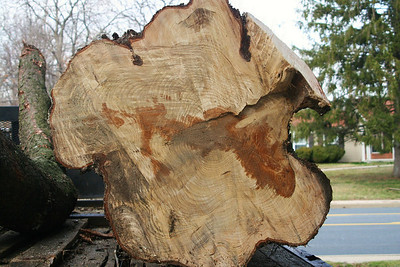 This is what a 75 ear old Norway spruce looks like