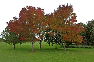 "Here are ""our"" trees close up - they are beautiful and change colours throughout the year (they are Raywood Ash)"