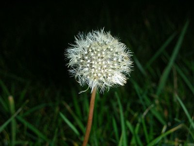 I love this picture of a dandelion in seed