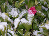 The first snow on our single camelia flower
