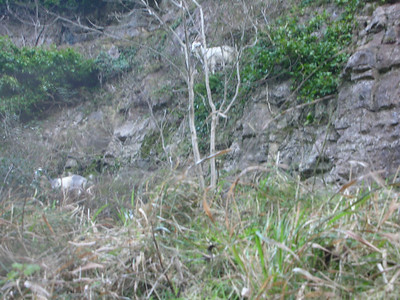 Some goats on the rocks at Cheddar Gorge - they looked as if they were clinging on for dear life!