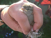 This is one of the two little sparrow chicks that we found in the garden, tangled together. Sue carefully and painstakingly freed them