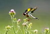 I didn't take this, but this is what the goldfinches in our garden look like. They are so beautiful, you can't quite believe it.