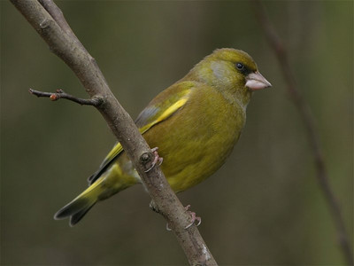 We also see the occasional greenfinch