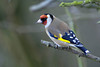 The beautiful goldfinches are now regular visitors