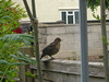 A baby blackbird, which was still learning how to fly - twice it flew into the lounge window!!!