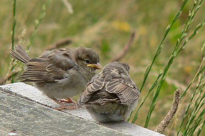 We have also seen many, many sparrows and their chicks