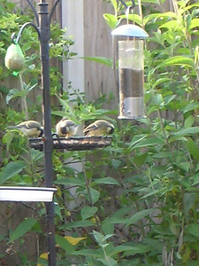 Three great tit chicks guzzling on the seeds