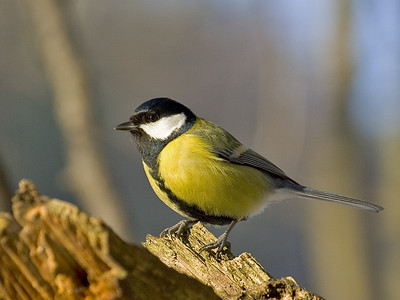 This is a great tit - I thought it was a blue tit until I looked closer