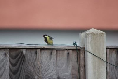 Great tit chick - with these tiny wings, we think it looks like a penguin!