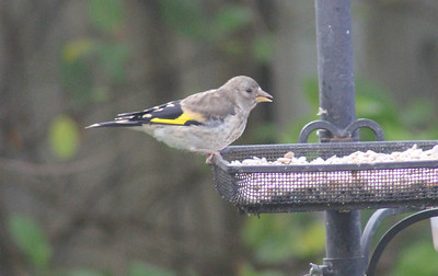 Goldfinch chick