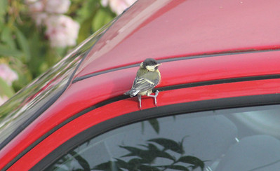 He flew off and landed (by pure accident I think) on my car