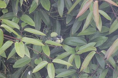 Tiny great tit chick hidden in the Clematis, where he was being fed by Mum and Dad