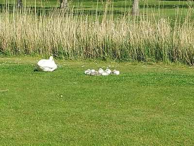 The new cygnets on the course