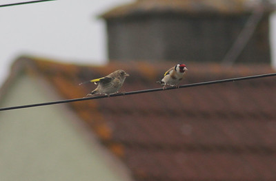 Mum and fledgling