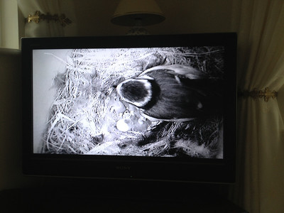 Richard and Daryl had a camera in their bird box, which captured progress with the 7 chicks