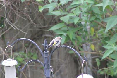 We had goldfinch babies again