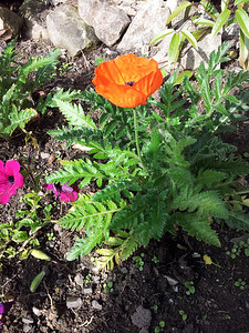 Lovely poppy in the garden