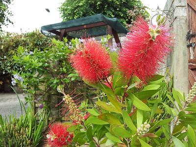I love our bottle brush plant