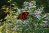 Beautiful Butterfly along Hummingbird Lane Copper Hill