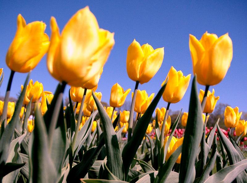 Tulips - Eliz Park