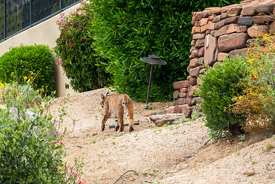 Getting back to our residence, we saw this. I think a Puma (or maybe a really big cat!)