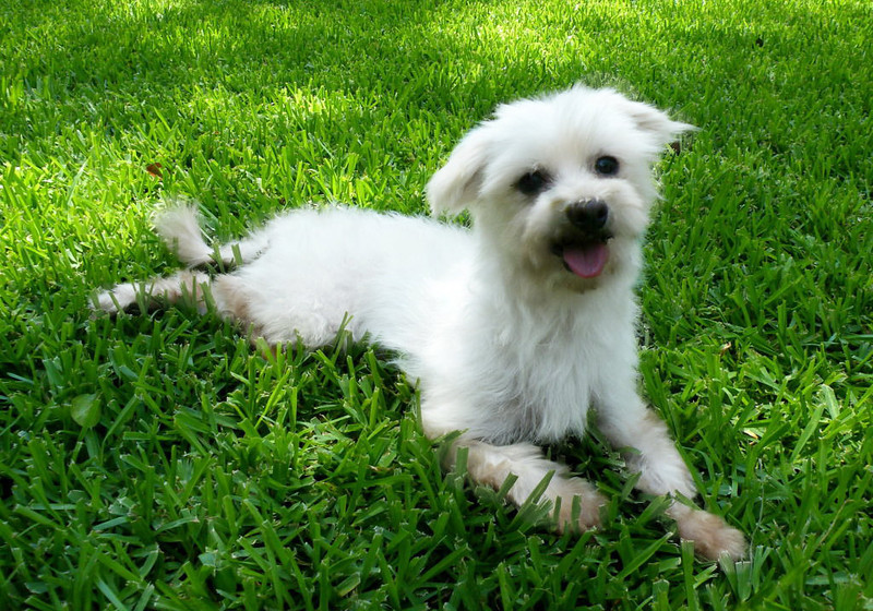Sally<br /> <br /> Sally is our little sweetheart! she is a pure bred maltese.