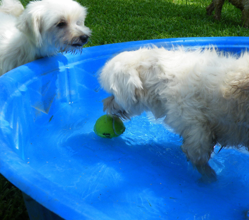 Miss Lucky in the pool cooling down after playing a game of catch.