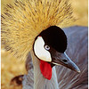 Crown Crane by John Brooks. Commended
