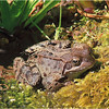 Common Frog by John Brooks. Highly Commended