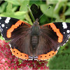 Tortoiseshell Butterfly by Ken Dixon. Commended