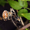 Garden Spiders by Peter Johnson. 2nd