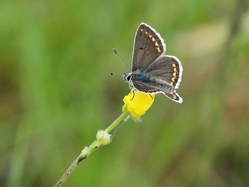 Brown Argus by Peter Johnson. 3rd