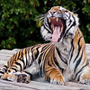 Bengal Tiger by Peter Johnson. Highly Commended