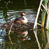 Great Crested Grebe by John Brooks. Highly Commended