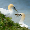 Gannets Collecting Nesting Materials by John Allen. 1st