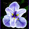 Iris by John Brooks. Highly Commended.