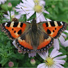 Small Tortoiseshell by Ken Dixon, Commended.