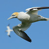Gannet in Flight by John Allen, Highly Commended