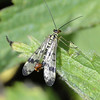 Scorpion Fly by Michael Yarrow, 3rd.