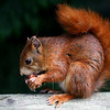Red Squirrel by Alan Hall ( 1st )