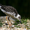 Turnstone by Alan Hall ( 3rd )