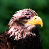 Juvenile American Bald Eagle by Mary Tozer ( 3rd )