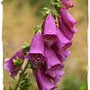 Foxglove by Elsie Sinclair ( Special Mention )