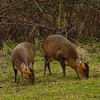Muntjac Deer by Mary Tozer ( Commended )