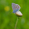 Common Blue by John Thompson ( Highly Commended )