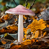 EPPING FOREST FUNGI ( Entoloma Cetratum ) by John Allen ( Special Mention )