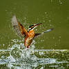 KINGFISHER EMERGING by Mike Wilson ( 2nd )