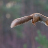 RED SQUIRREL JUMPING WITH HAZELNUT by Mike Wilson