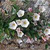 FIELD BINDWEED by John Brooks ( Special Mention )